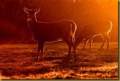 - deer sunlight ROT_3071 January 08, 2012 NIKON D3S