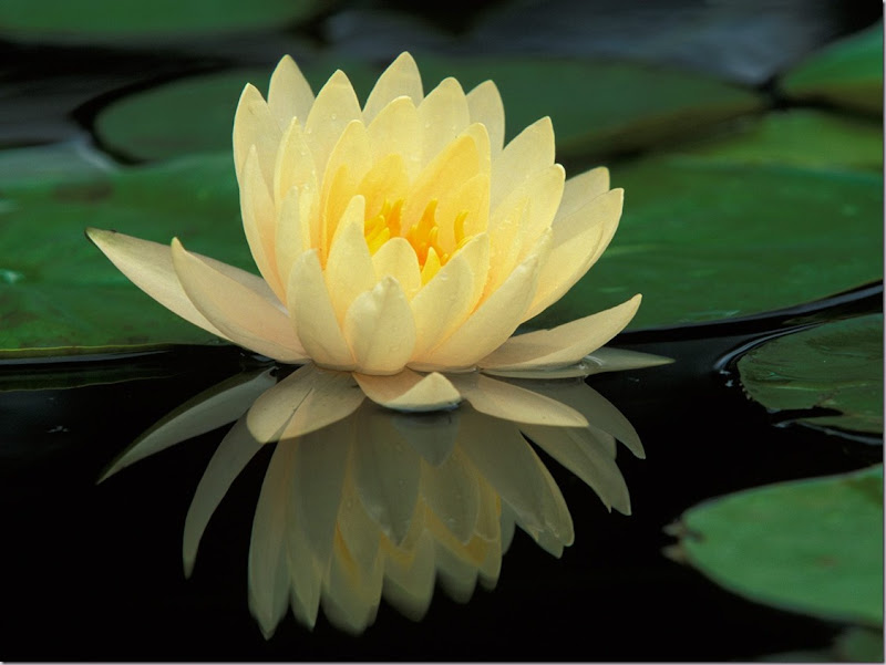 July's Flower is the Water Lily. Hybrid Water Lily