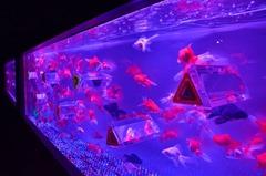 Este verão japonês está sendo marcado pelo encantamento com os peixes e seus aquários.