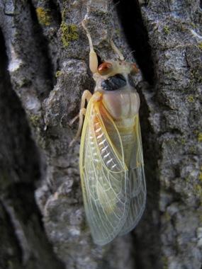 cicada hanging