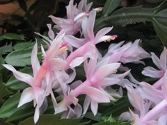 Thanksgiving cactus 11.2011