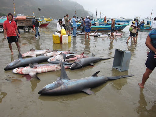 Fishermen with sharks on the beach at Puerto Lopez, Ecuador