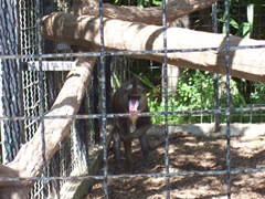 2009.05.16-045 mandrill
