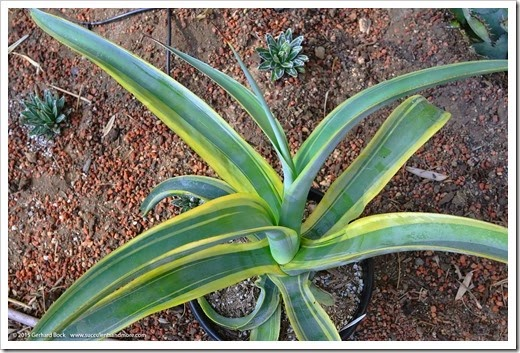 150221_Agave-vilmoriniana-Stained-Glass_003