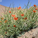 Arabian Horned Poppy