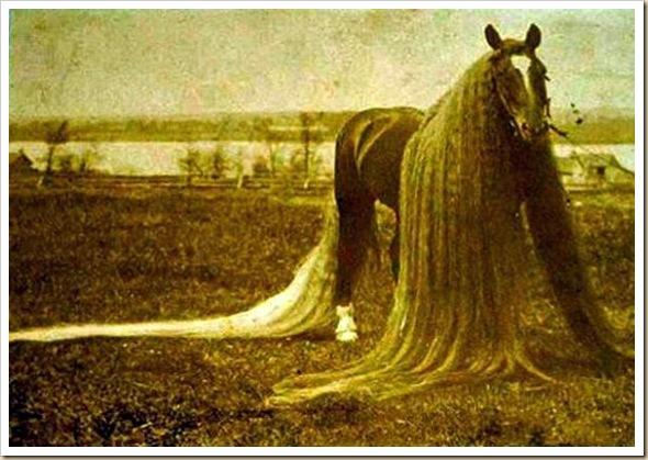 Linus le cheval aux crins les plus long du monde (5)