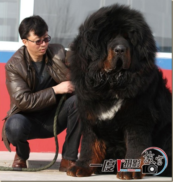 Dogue du Tibet ou Mastiff Tibétain 9