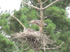 great blue heron in nest1. 7.25.2013