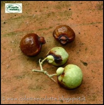 Sapindus mukorossi, Sapindaceae, frutti