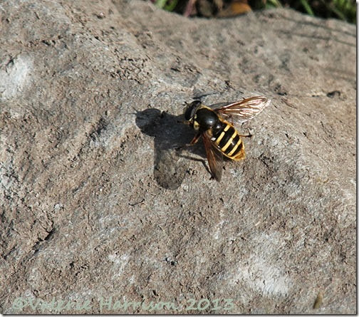 20-hoverfly