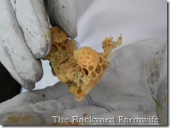 Swarm cells- The Backyard Farmwife