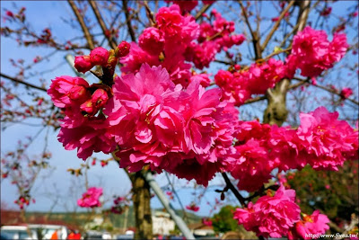 泰安派出所櫻花