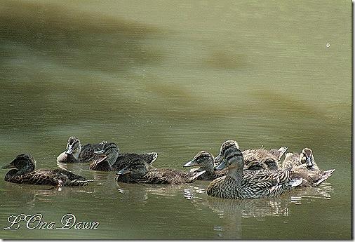 EJC_Nine_Ducklings2