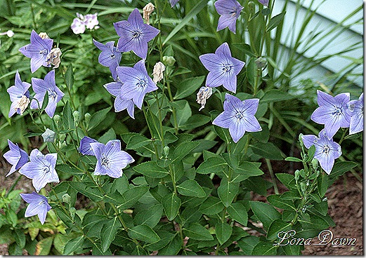 BlueClips_Campanula_july3