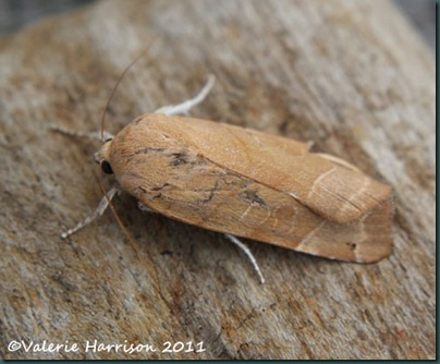 broad-bordered-yellow-underwing