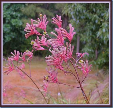 Kangaroo Paw flowers