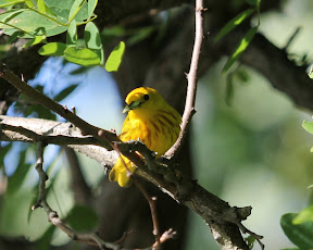 Yellow Warbler with possibly an inchworm in beak. Palisades Park, Englewood, 6/16/12