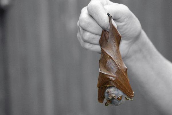 leaf mimickig tubenose bat