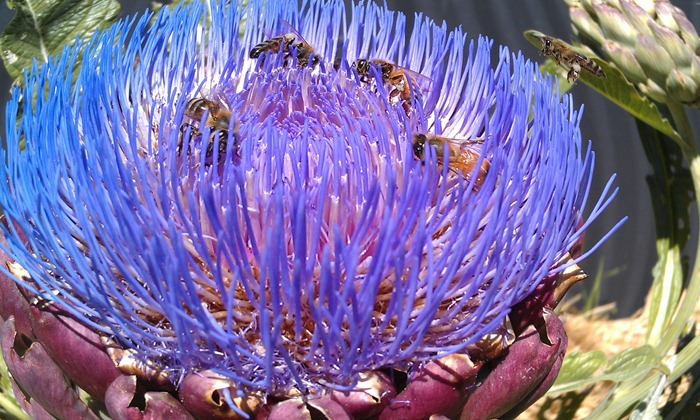 bees at work with the artichoke