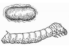 gusano de seda blogcolorear com  (1)