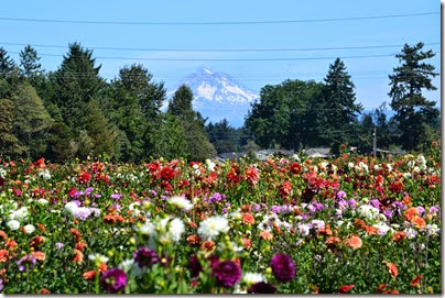 dahlias mt hood (3)