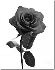 Rose_Stock_by_BreAnn (2)