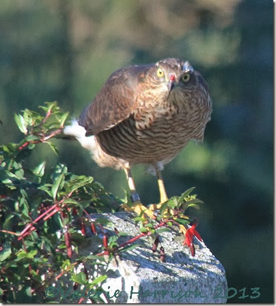 ringed-sparrowhawk