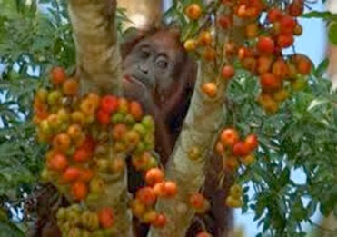 Amazing Pictures of Animals, Photo, Nature, Incredibel, Funny, Zoo, Bornean orangutan,Pongo pygmaeus, Primates, Alex (16)