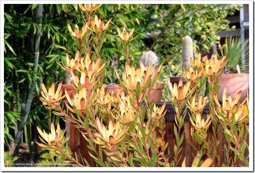 150203_Leucadendron-Safari-Sunset_003
