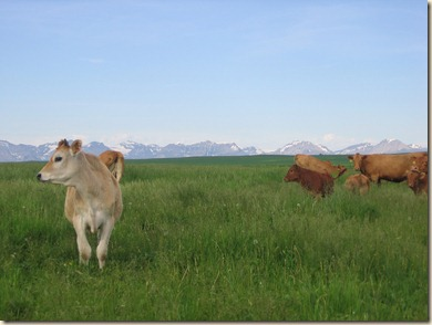 Cow 091
