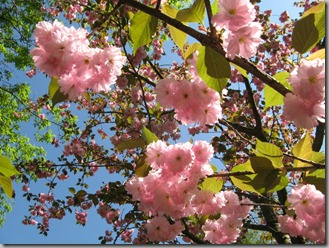 Flowering cherry