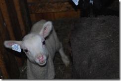 Leah's Ram lamb 2012