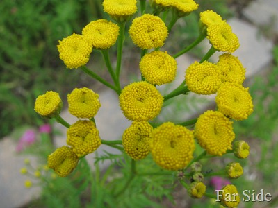 Tansy