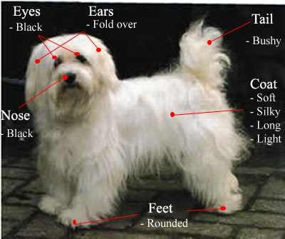 havanese-pictures