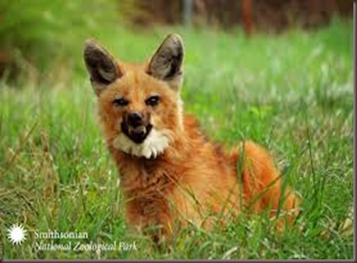 Amazing Animal Pictures The Maned Wolf (3)