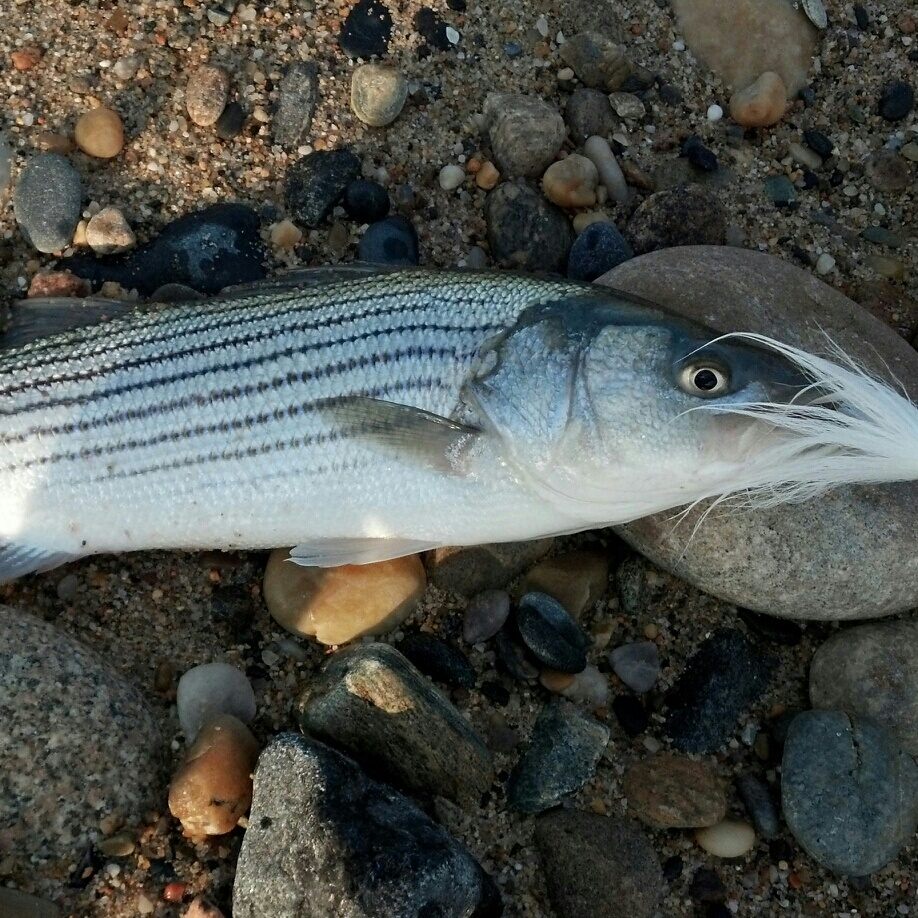 Striped bass at the point montauk fishing reports for Fishing for striped bass