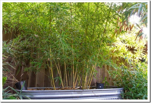 Succulents and more our bamboos after the rain for Phyllostachys aurea en pot