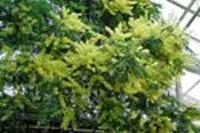 acacia-dealbata1