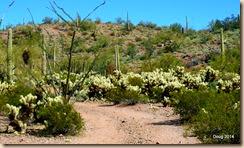 Ocotillo Cacti Grove