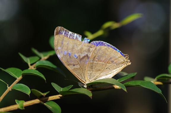 Morpho (Cytheritis) aega HÜBNER, 1806, mâle. Sertao de Barra do Una (Sao Sebastiao, SP). 18 février 2012. Photo : J.-M. Gayman