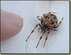 George, our pet spider