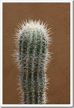 120728_ArizonaSonoraDesertMuseum_Carnegiea-gigantea_05