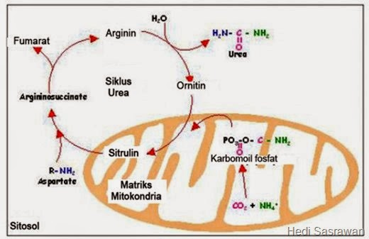 proses pembentukan urea dan amonia