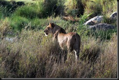 October 18 2012 lioness