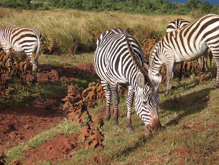 Safari: zebras