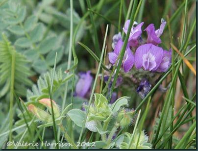 35-purple-milk-vetch