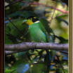 Long-Tailed-Broadbill03.jpg