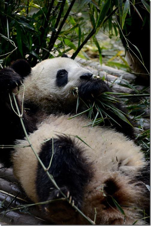 DSC_7114LR_Pandas