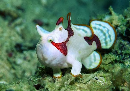 Amazing Pictures of Animals, Photo, Nature, Incredibel, Funny, Zoo, Warty frogfish, clown frogfish, Antennarius maculatus, Alex (15)