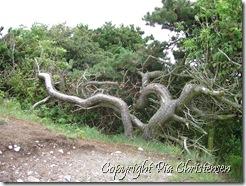 Sjovt træ på Æbeløholm